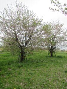 今年の桜ももう終わり